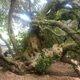 The 600-year-old milkwood tree.