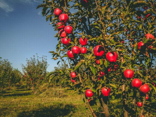 Almaty-apple.jpg