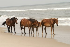 A herd on the beach.