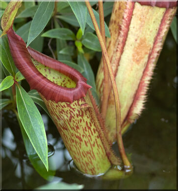 Nepenthes rajah the king of the pitcher plants kota for Plante carnivore 01