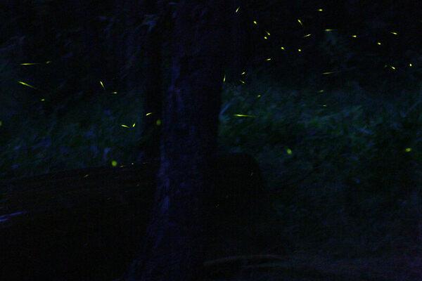 Flashing fireflies of kampung kuantan bestari jaya malaysia atlas obscura - Firefly barcelona ...