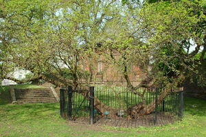 The mulberry tree.