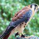 A kestrel falcon nursed back to health by the Cascades Raptor Center.
