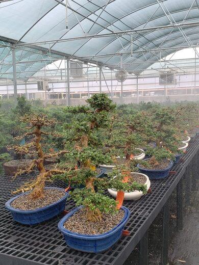 Brussel S Bonsai Nursery Olive Branch Mississippi Atlas Obscura