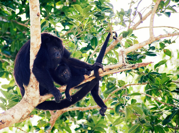 Howler Monkeys of Tikal  in Tikal, Guatemala