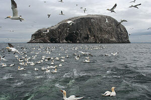 Bass Rock Gannet Colony.