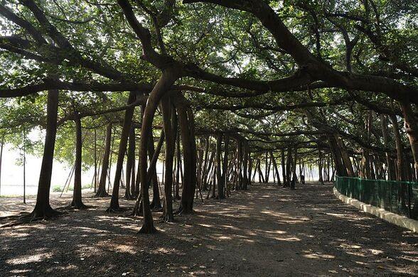 Acharya Jagadish Chandra Bose植物园的大榕树 - wuwei1101 - 西花社