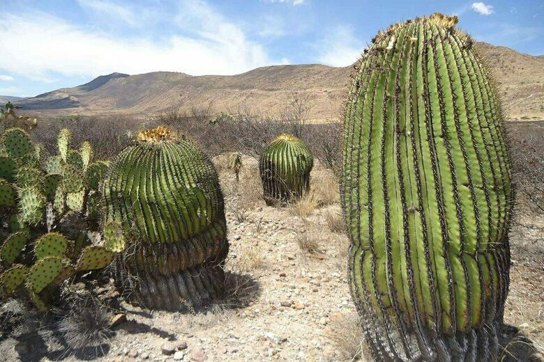 Giant Cacti of Tierra Blanca
