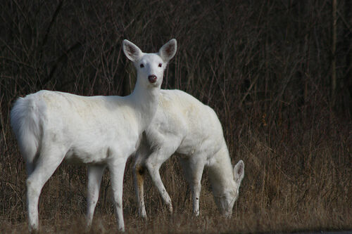 Image result for Ovid, NY white deer