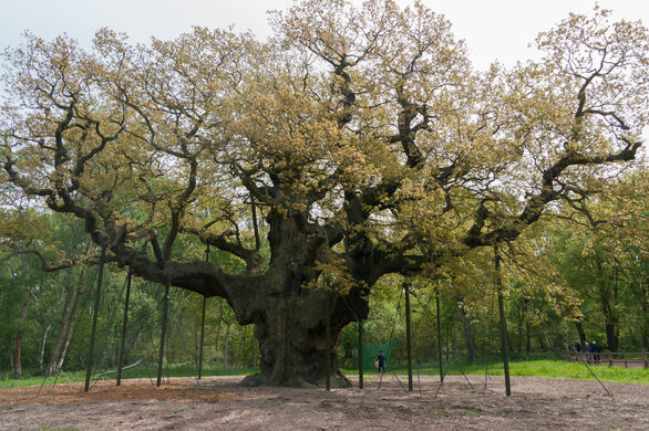 Image result for major oak