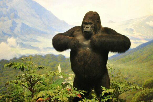 American Museum of Natural History Mountain Gorilla Diorama