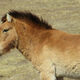 The takhi is the world's last truly wild horse.