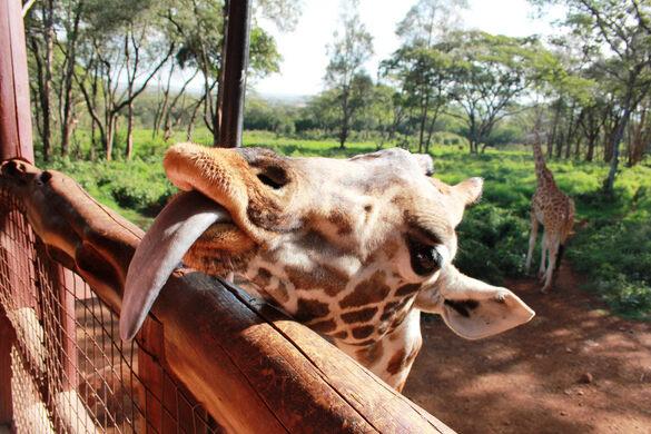 Giraffe Centre Nairobi Kenya Atlas Obscura