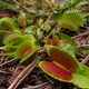 Venus flytraps growing wild in North Carolina