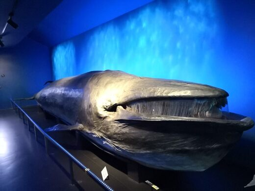 Taxidermy Whale of Fribourg