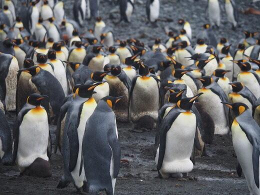 Impact On Wildlifemacquarie Island