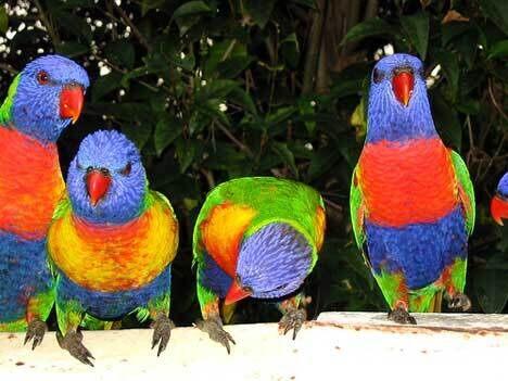 Drunken Australian Parrots – Tanami East, Australia - Atlas