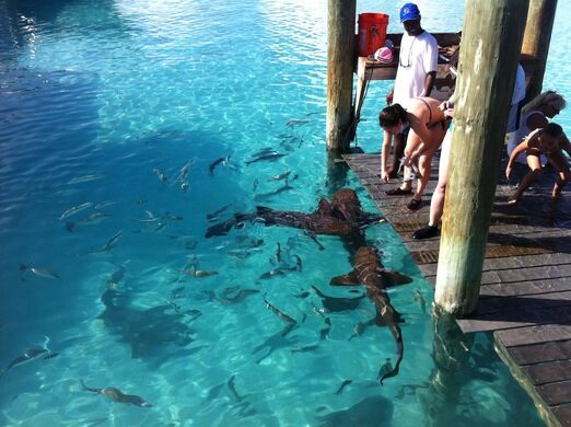 Nurse Sharks of Compass Cay – Bahamas - Atlas Obscura
