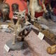 Action mounted taxidermy bobcat and quail.
