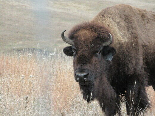 Legendary Albino Buffalo – Jamestown, North Dakota - Atlas