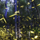 Tennessee synchronous fireflies light show