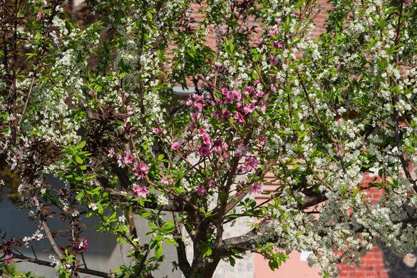 Tree Of 40 Fruit Syracuse New York Gastro Obscura