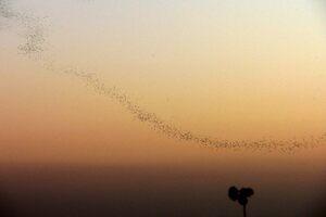 """""""Batnadoes"""" form at dusk."""
