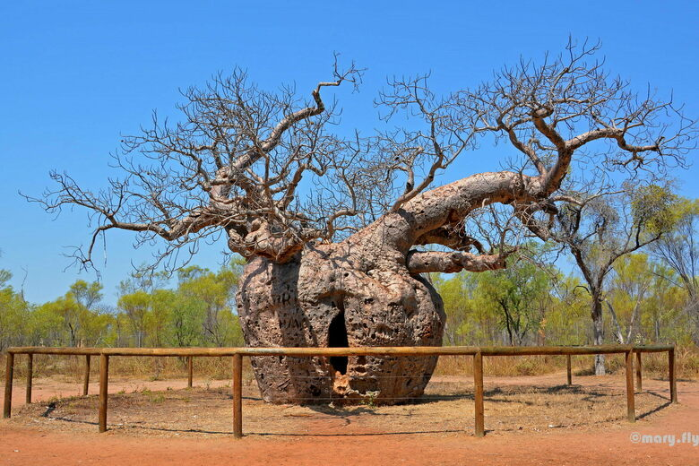Derby Boab 'Prison Tree'