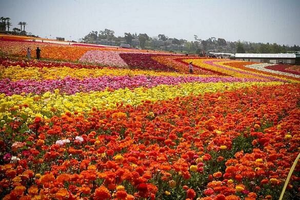 The flower fields carlsbad california atlas obscura view all photos mightylinksfo
