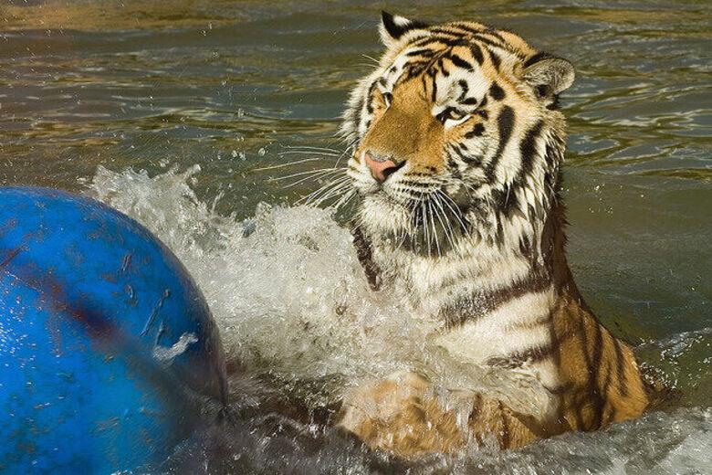 Mike the Tiger – Baton Rouge, Louisiana - Atlas Obscura