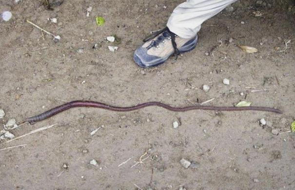 giant earthworm - photo #25