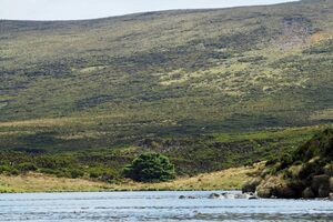 The loneliest tree sticks out among the low-lying, wind-battered vegetation of Campbell Island.