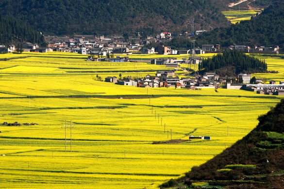 canola flower fields qujing china atlas obscura