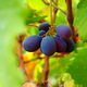 Mavro grapes - Commandaria Country