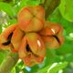 Ackee fruit is entirely poisonous until its exterior turns red and splits open.