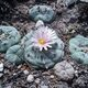 Lophophora williamsii in nature.