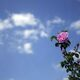 A pink rose against Qamsar's clear blue sky.