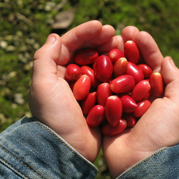 Miracle berries are native to Western Africa; locals have eaten them for centuries.