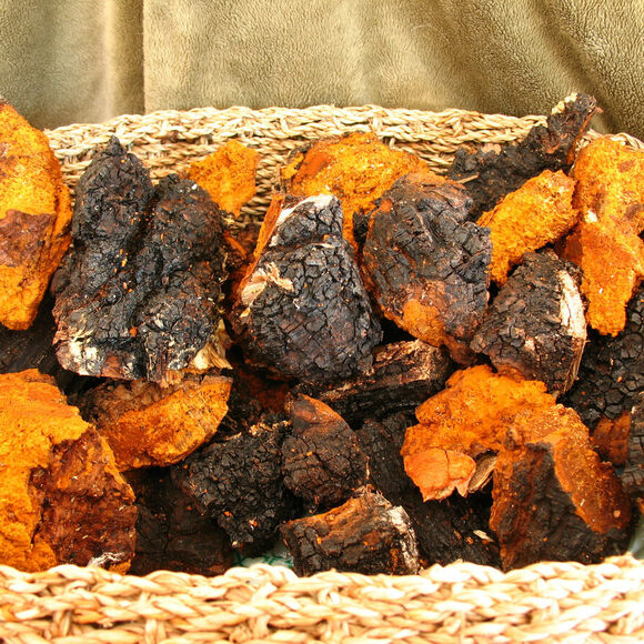 A basket containing nine pounds of harvested chaga.