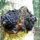 Chaga mycelium growing on the exterior of a birch tree.