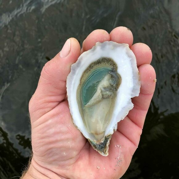 Divine Pine from N. SEA. Oyster Company in Topsail Sound, North Carolina.