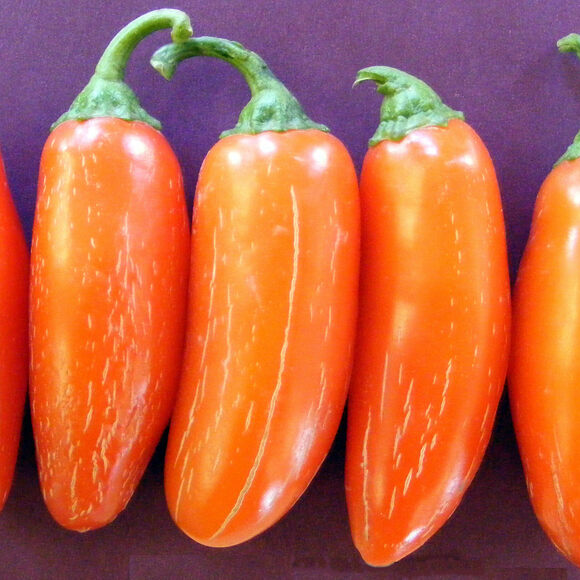 Chilli NuMex Lemon Spice A Chilli Created from Jalapeno /& Colorful Bell Pepper