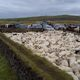 A flock of sheep in Iceland, driven down from the highlands to a sorting pen.
