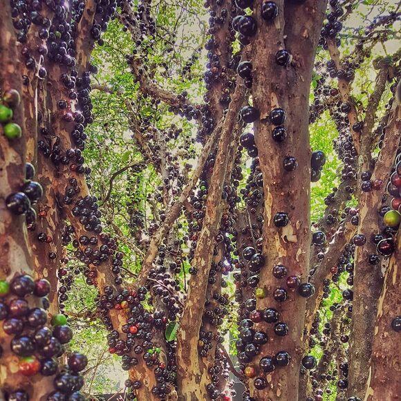 Jaboticaba winds its way around tree trunks.