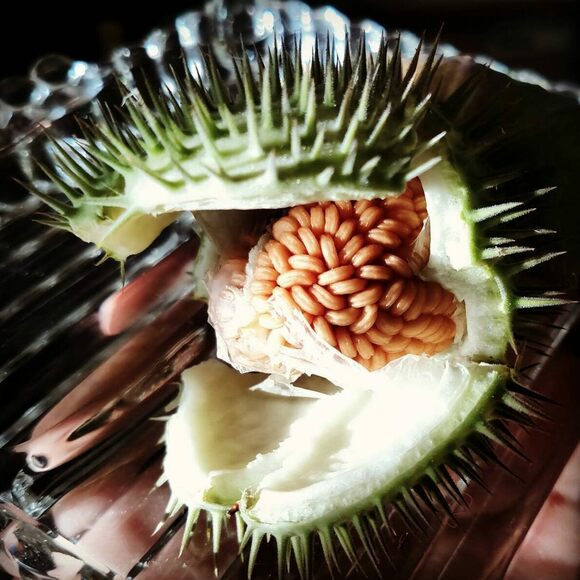 The prickly toloache fruit, with seeds inside.