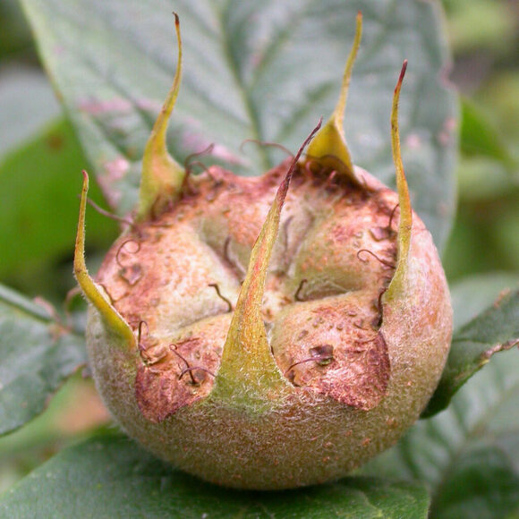 Medlars' shapes once inspired a lot of jokes.