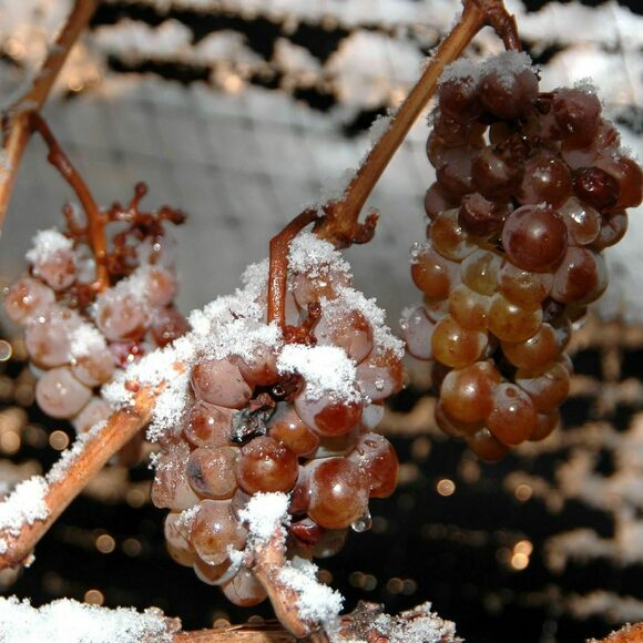 Once grapes freeze on the vine, there's only a narrow window of time to press them.