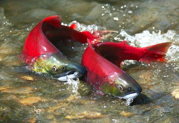 Okanagan Sockeye Salmon