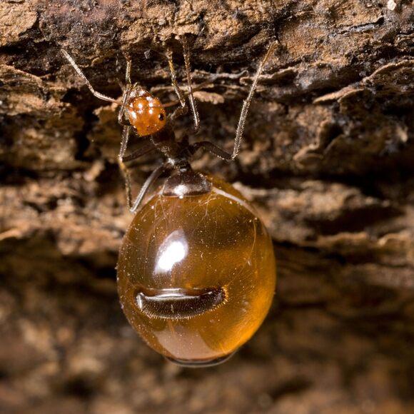 A honeypot ant in Arizona.