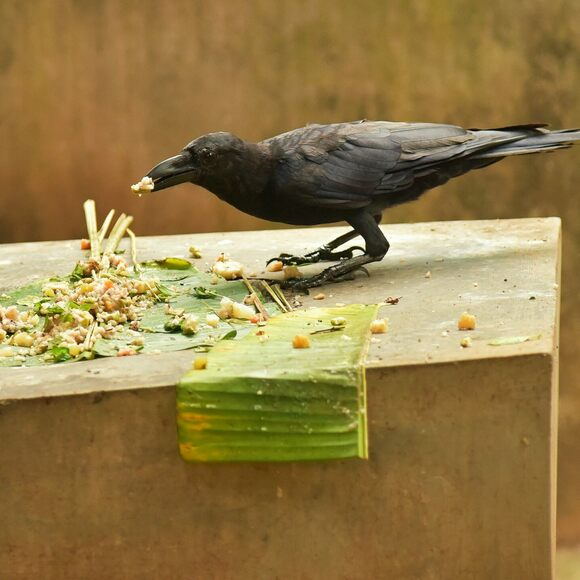A crow feeds on a family's offering of boiled rice, ghee, jaggery, fruits, and vegetables.